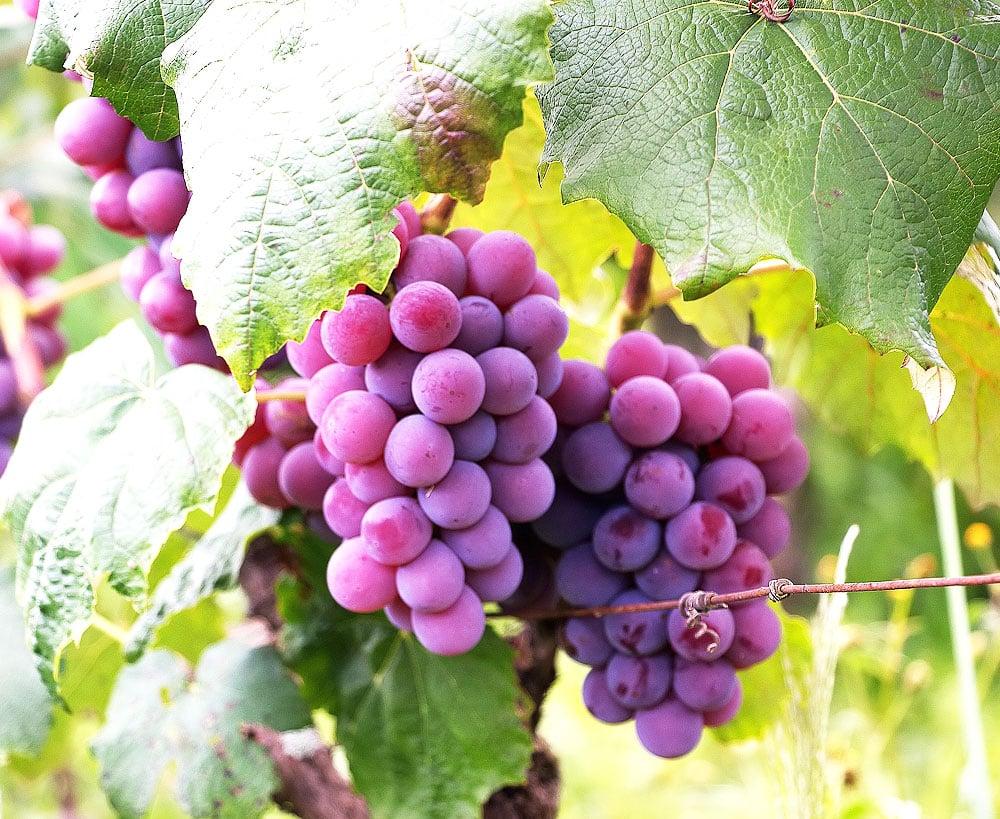 Delicious grape from organic farm in New York